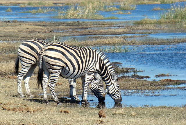 Safari Animal Zebra Africa Wild Wildlife Botswana
